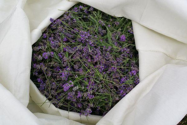 lavender603E0592-2D0B-1FDB-3B66-1030CED1ED17.jpg